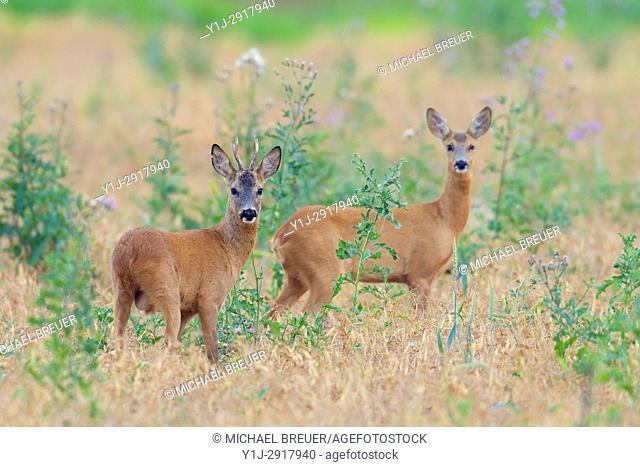 Western Roe Deers (Capreolus capreolus), Hesse, Germany, Europe