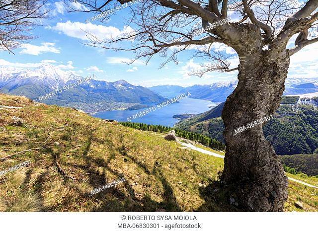 The isolated tree frames the blue Lake Como on background Montemezzo Alpe Zocca Lombardy Italy Europe