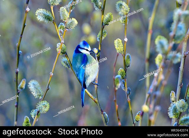 Blaumeise bei der Futtersuche im Wald. Blue tit in spring looking for food