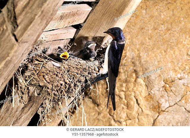 BARN SWALLOW hirundo rustica, ADULT WITH CHICKS IN NEST, NORMANDY