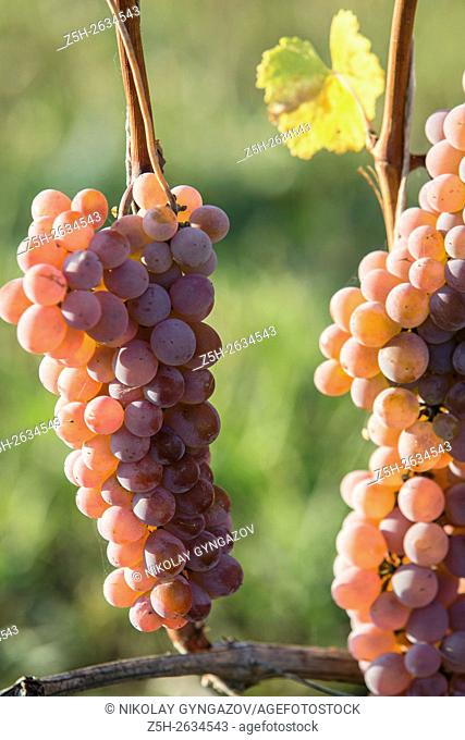 Grapes of central Russia. Belgorod region