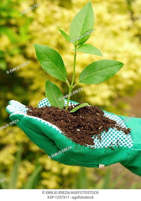 Planting a Laurustinus Viburnum tinus