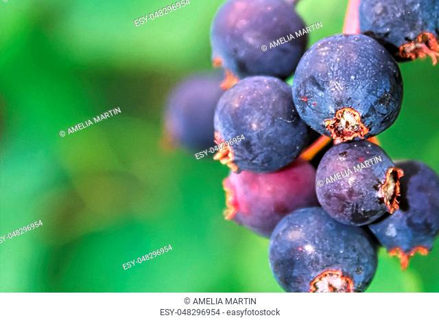 A macro view of ripe saskatoon berries
