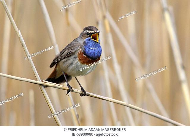 Bluethroat (Luscinia svecica cyanecula), singing male perched on reed, Lauwersmeer National Park, Holland, The Netherlands