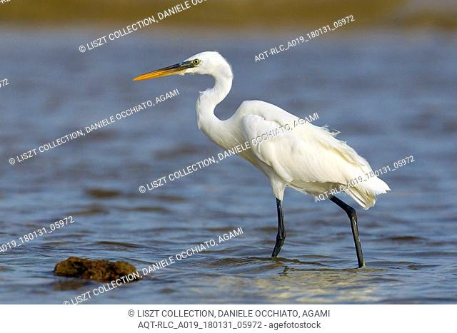 Wading white morph of Western Reef heron