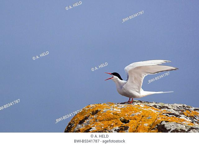 arctic tern (Sterna paradisaea), sitting on a rock with orange lichens with open wings and calling, United Kingdom, Scotland, Fair Isle, Shetland-Inseln