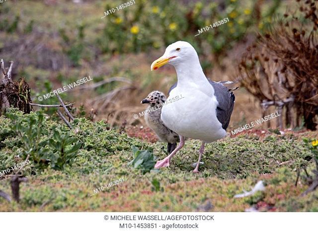 Mom and her chicks on Anacapa Island