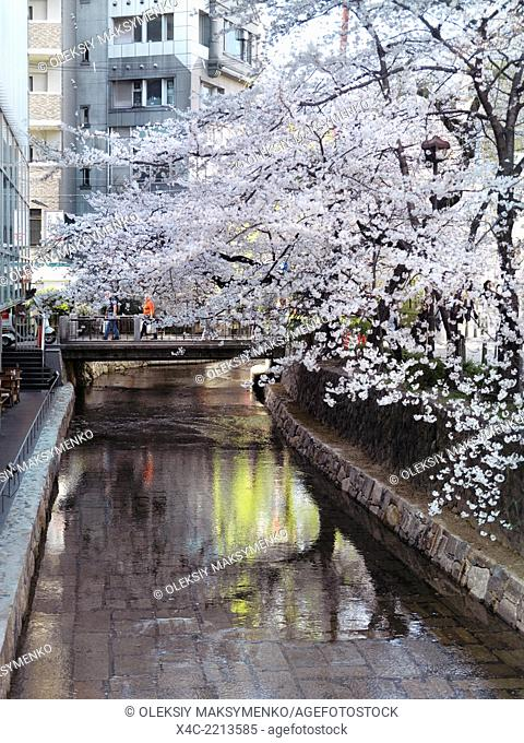 Takase river and cherry blossom at Kiyamachi dori street in Kyoto, Japan 2014