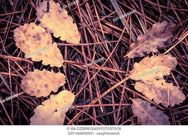 Fallen pine needles and dry leaves on the ground in the forest. Autumn Concept