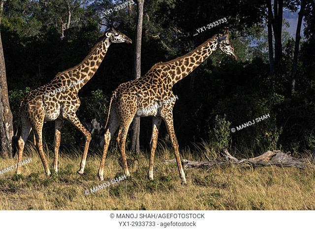giraffes walking to the forest. Masai Mara National Reserve, Kenya