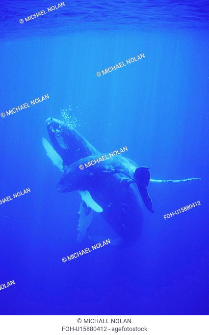 Humpback Whale Megaptera novaeangliae Mother and calf underwater in the AuAu Channel, Maui, Hawaii, USA. Pacific Ocean