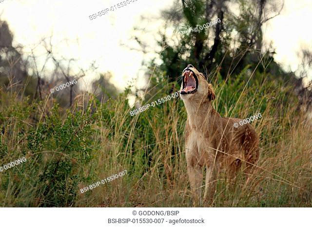Kruger National Park. Lioness yawning (Panthera leo). South Africa