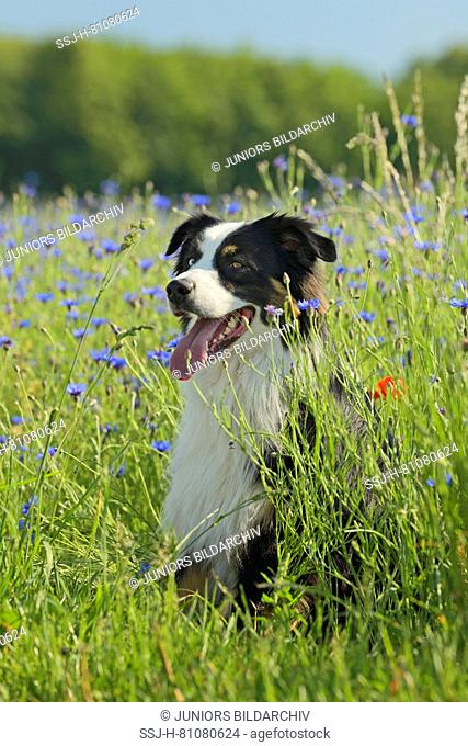 Australian Shepherd. Adult dog with eyes of different color sitting in a meadow with flowering cornflowers. German