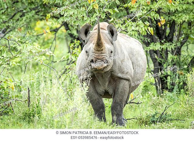 Black rhino starring at the camera in the Etosha National Park, Namibia