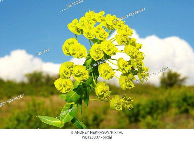 Urban spurge (Euphorbia agraria), Ukraine, Eastern Europe