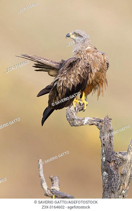 Black Kite, Adult perched on a dead tree, Basilicata, Italy (Milvus migrans)