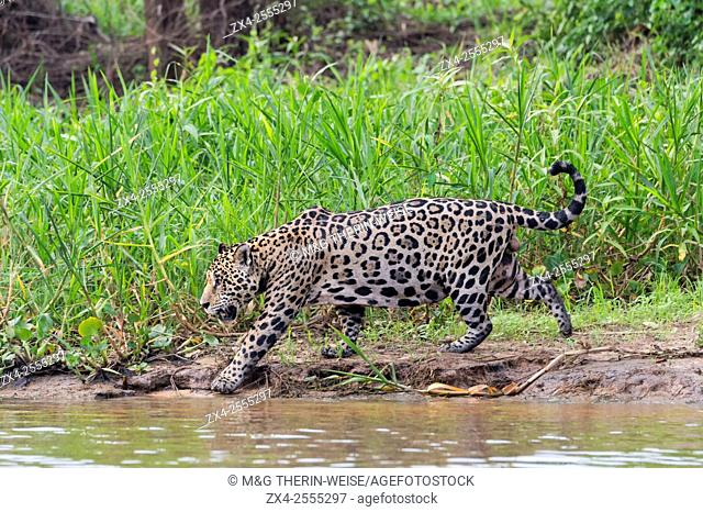 Jaguar (Panthera onca) in the water, Cuiaba river, Pantanal, Mato Grosso, Brazil