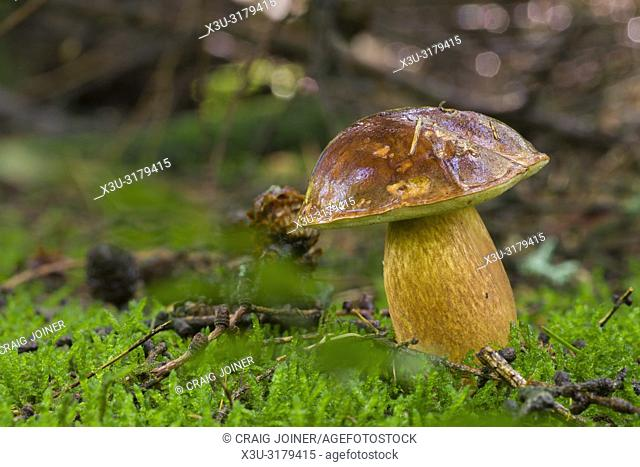A Bay Bolete (Boletus badius) mushroom on a woodland floor. Stockhill Wood, Somerset, England