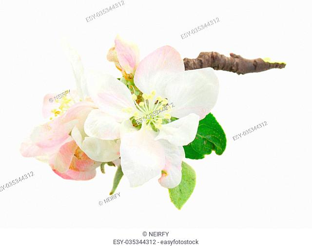 fresh Apple tree blossom twig isolated on white background