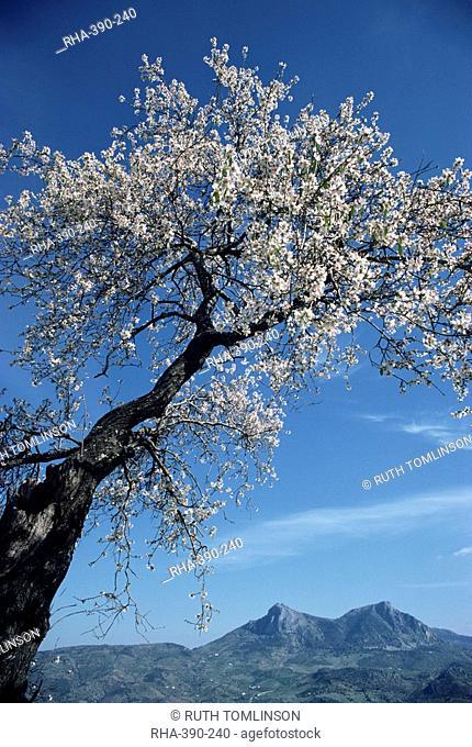 Almond tree in spring blossom, Zahara de la Sierra, Andalucia, Spain, Europe