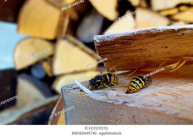 common wasp (Vespula vulgaris, Paravespula vulgaris), overwintering queen in a woodpile, Germany