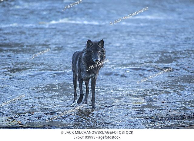 Gray wolf (Canis lupus) In Kettle River near Sandstone, Minnesota, U.S