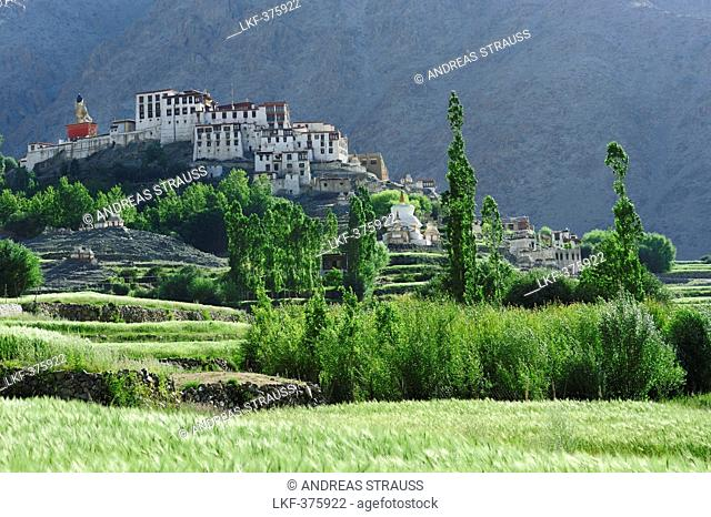Corn fields with monastery of Likir, Likir, valley of Indus, Ladakh, Jammu and Kashmir, India