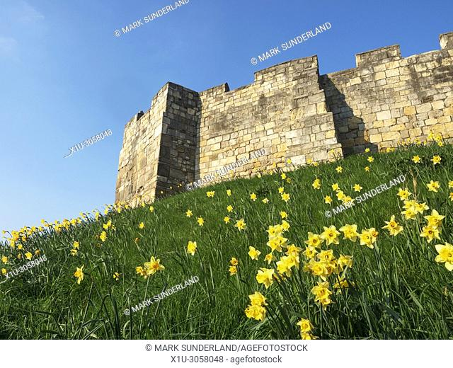 Daffodils in flower on the bank below the city wall at York Yorkshire England