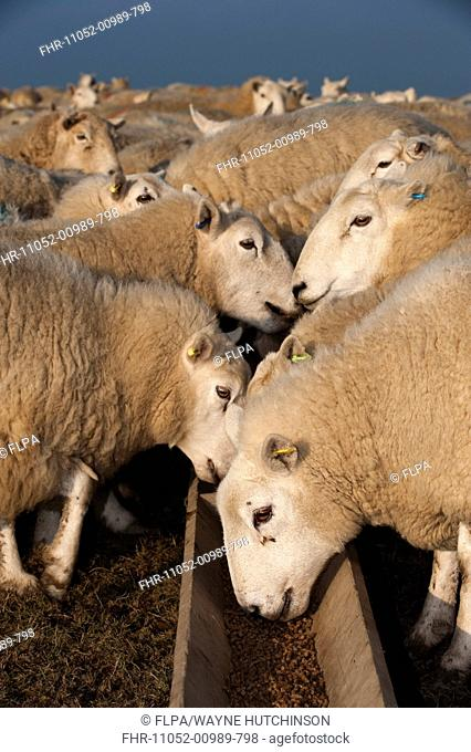 Domestic Sheep, Welsh ewes, flock feeding on supplement feed from trough, England, march