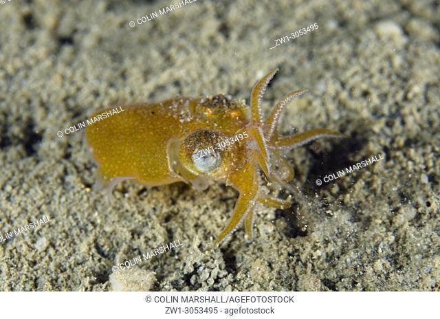 Golden Tropical Bottletail Squid (Sepiadarium kochi) raising tentacles on sand, Night dive, Tasi Tolu dive site, Dili, East Timor (Timor Leste)