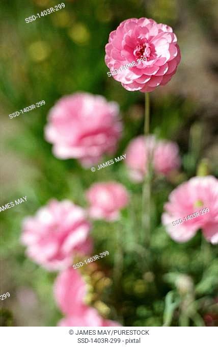 Close-up of zinnia flowers