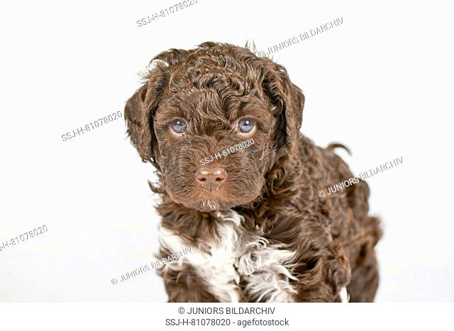 Lagotto Romagnolo. Puppy (5 weeks old) standing, seen head-on. Studio picture against a white background. Germany