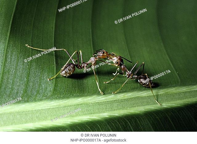 WEAVER ANT Oecophylla smaragdina two on leaf