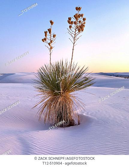 A yucca at sunset in White Sands National Park, New Mexico