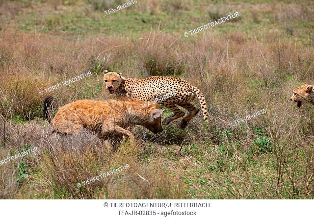 spotted hyena and cheetahs