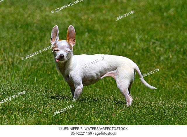 An adult female chihuahua outdoors enjoying the sunshine and sticking out her tongue