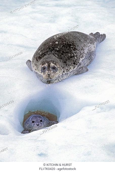Harbor Seal mom & young  Pup slipped into ice hole  Le Conte Glacier, Alaska  Phoca vitulina