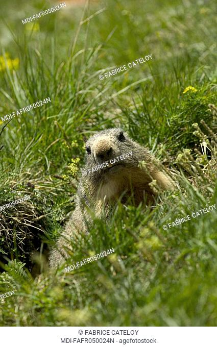 In the natural regional park of Queyras, marmot at the entry of its burrow