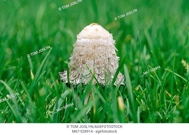 Shaggy Ink Cap (Coprinus comatus) fungus in grass. England, UK