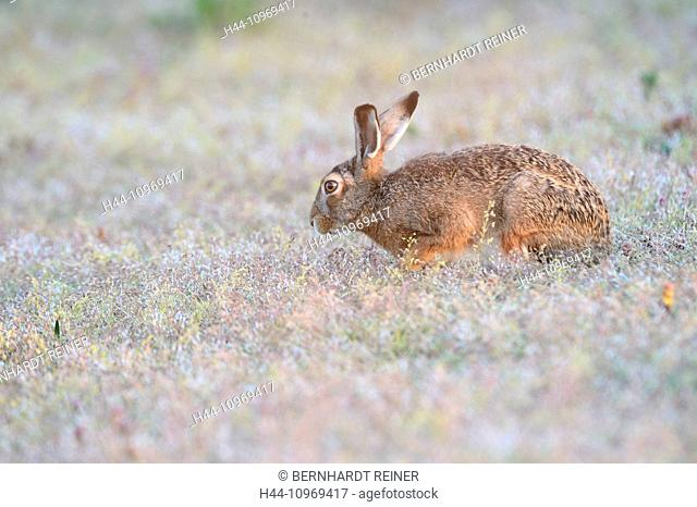 Hare, Rabbit, Lepus europaeus Pallas, brown hare, bunny, rodent, rodent, nature, wild animal, game, animal, Germany