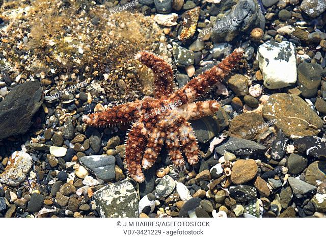 Blue spiny starfish (Coscinasterias tenuispina) is a sea star omnivore. Specimen with an anormal number of arms. This photo was taken in Cap Ras