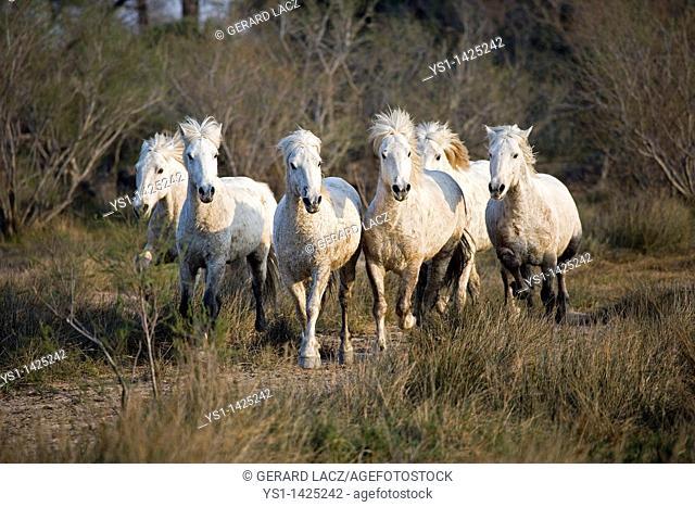 CAMARGUE HORSE, HERD, SAINTES MARIE DE LA MER IN THE SOUTH OF FRANCE