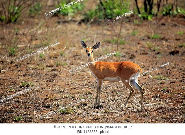 Steenbok, (Raphicerus campestris), adult, female, Kruger National Park, South Africa