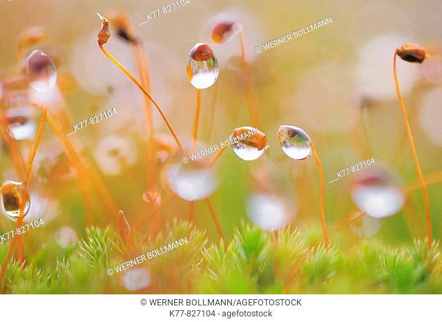 Moss with dew drops. Niederhorn, Switzerland