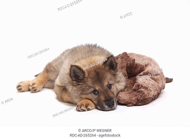 Eurasier, puppy, 10 weeks / cuddly toy