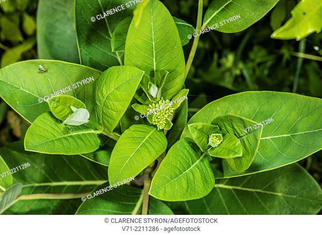 Indian Hemp Apocynum cannabinum Budding