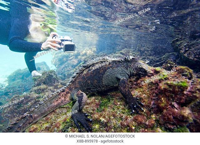 The endemic Galapagos marine iguana (Amblyrhynchus cristatus) feeding underwater in the Galapagos Island Archipelago, Ecuador