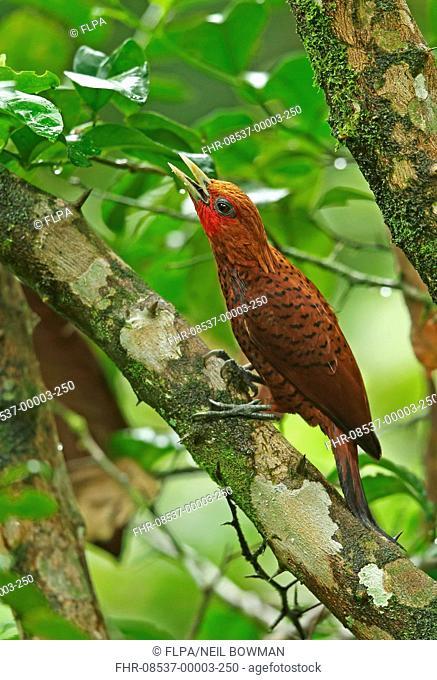 Chestnut-coloured Woodpecker (Celeus castaneus) adult male, with beak open, perched on branch, Pico Bonito, Honduras, February