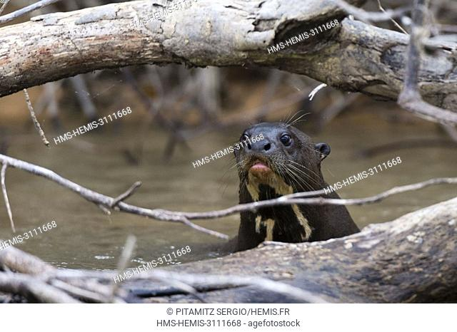 Giant river otter (Pteronura brasiliensis), Pantanal, Mato Grosso, Brazil