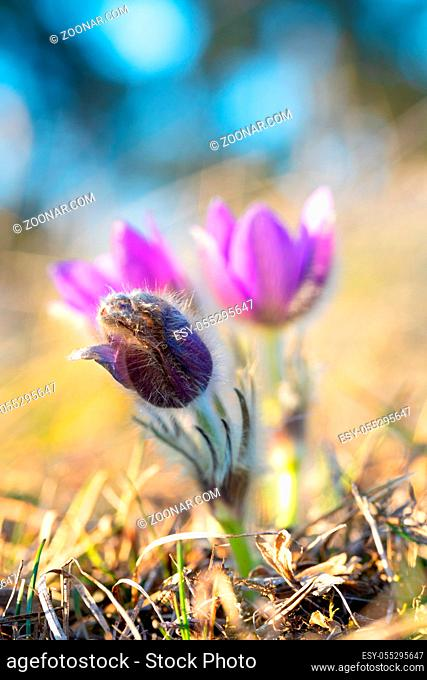 Springtime flower. Beautiful purple little furry pasque-flower. Pulsatilla grandis Blooming on spring meadow at the sunset. Ptacov, Czech Republic